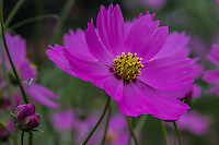 Cosmos plants are a part of the family Asteraceae.  The cosmos is a flowering plant that includes more than 20,000 species.  It is also commonly called garden cosmos, common cosmos, and the Mexican aster.  There are 20 different species of cosmos.