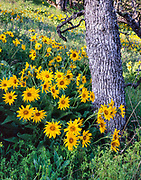 Balsamroot with Oaks, Tom McCall Nature Preserve, Columbia River Gorge NSA, Oregon