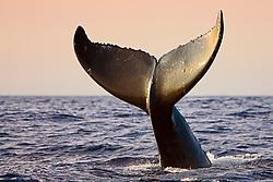 humpback whale, Megaptera novaeangliae, lobtailing or tail-slapping, Kohala Coast, Big Island, Hawaii, USA, Pacific Ocean