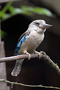 Avifauna, Europa's grootse vogelpark. / Avifauna - the largest bird sanctuary in Europe Op de foto / On the photo: Blauwvleugel Kookaburra (Dacelo Leachii) / Blue-winged kookaburra