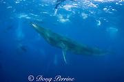 Bryde's whale, Balaenoptera brydei or Balaenoptera edeni, and California sea lions, Zalophus californianus, off Baja California, Mexico ( Eastern Pacific Ocean )