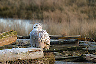 A Snowy Owl (Bubo scandiacus) warms up before a hunt in the marsh at Boundary Bay in Delta, British Columbia, Canada