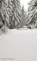 Bobcat tracks in the snow along a Mount Tahoma Trails cross country ski trail, Washington, USA