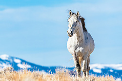 White Mustang stallion in the Mountains of Idaho.