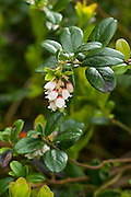 Cowberry, Vaccinium vitis-idaea, grwoing below Stanage edge in the Peak District