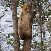USA, Alaska, Katmai. Brown bear cub climbs tree to safety at Brooks Falls, Katmai National Park.
