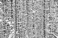 Fresh snow falls on spruce trees
