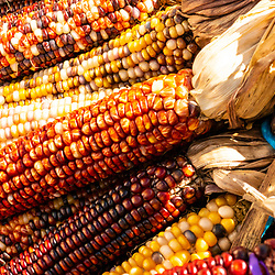 Multi-colored maize corn cobs in bunches and ready for sale at a country road stand.