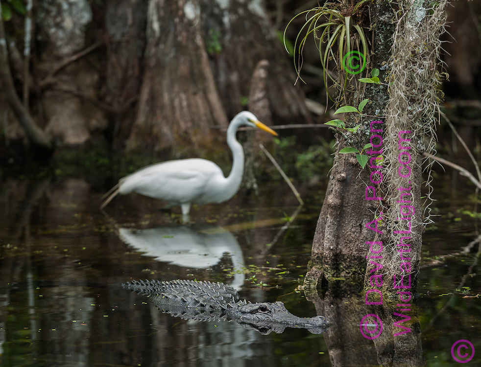 Alligator passes by great egret in cypress swamp, © 2007 David A. Ponton