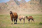 Bactrian Camel, Khognoo Khaan National Park, Mongolia