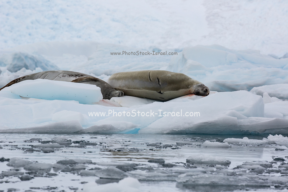 Crabeater Seal (Lobodon carcinophaga) on an iceberg in Antarctica. Crabeater seals are the most common large mammal on the planet after humans, with an estimated population of 15 million. They are a true Antarctic species, living on or around sea ice, as the sea ice retreats they are at real risk from climate change. Their main diet is Krill, numbers of which have reduced by over 50%. The Antarctic Krill feeds on algae that grows on the underside of sea ice, as the sea ice retreats, the algae is less common, with less food for Krill.