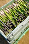 fresh asparagus spears just picked in an asparagus field