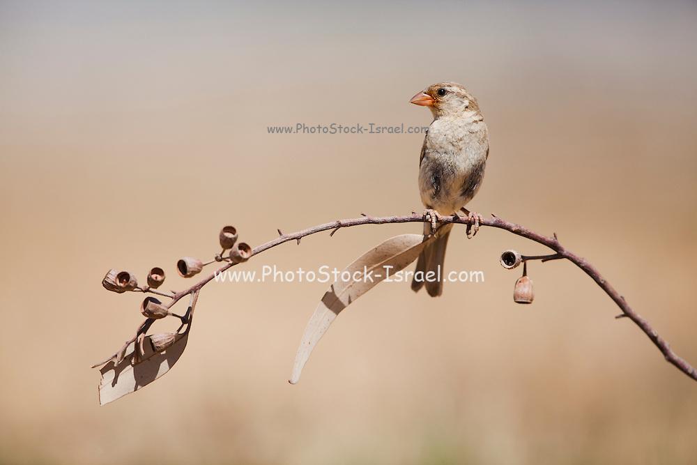House Sparrow (Passer domesticus biblicus) on a branch, negev desert, israel