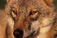 Eurasian wolf, Canis lupus, captive, Transsylvania, Romania