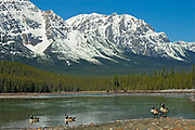 Canada geese (Branta canadensis) on the Athabasca River in the Canadian Rockies  <br />