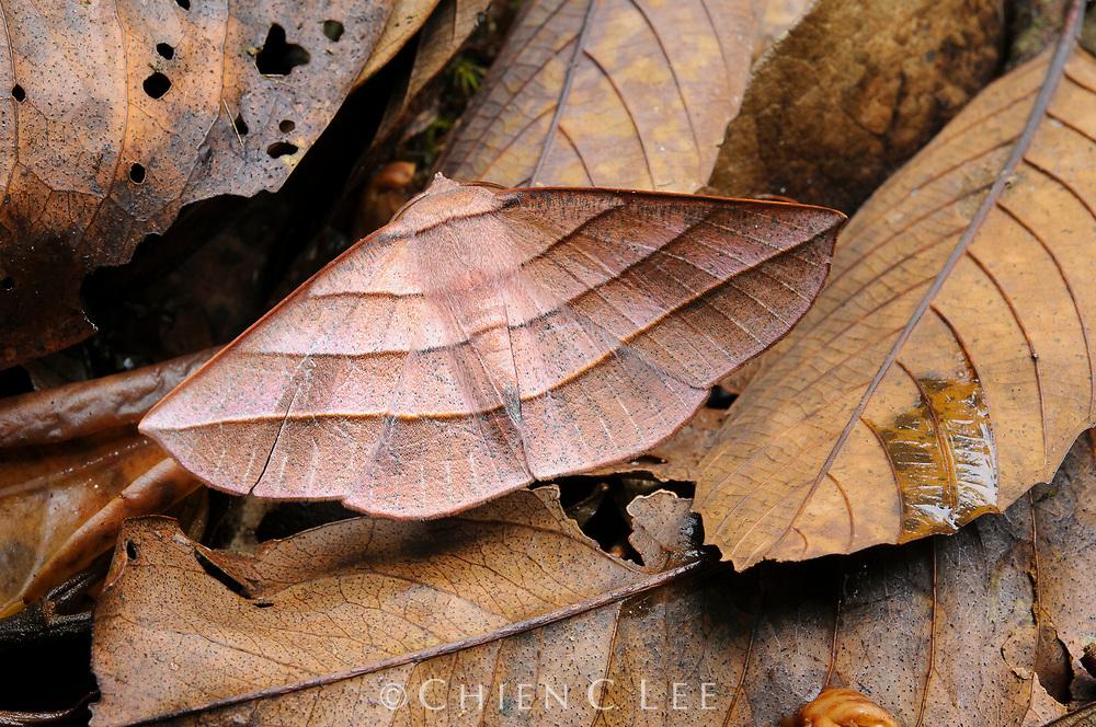 Camouflaged moth (Sarcinodes reductatus), from montane rainforest. Kinabalu National Park, Sabah, Malaysia (Borneo).