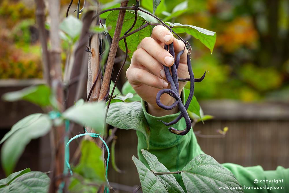 Harvesting climbing black French beans - Phaseolus vulgaris