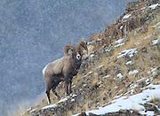 Bighorn Sheep, Yellowston National Park