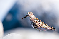 The Dunlin, Calidris alpina, is a small wader. At Sele on Jaeren, Norway.