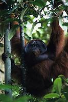 An adult male Bornean Orangutan (Pongo pygmaeus) named Jari Manis hangs from all four limbs.  Gunung Palung N.P., Borneo, Indonesia.