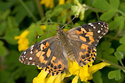 A painted lady butterfly (Vanessa cardui) on garden flowers..