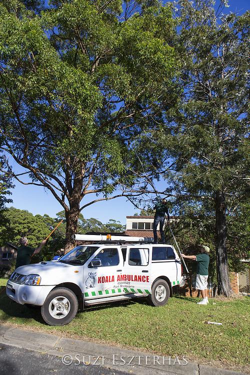 Koala <br /> Phascolarctos cinereus<br /> Koala Hospital rescue team attempting to rescue female sick with chlamydia<br /> Port Macquerie, Australia