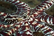 Oktopus Thaumoctopus mimicus (Norman & Hochberg, 2005) - Der erst 2001 zum ersten Mal dokumentierte Thaumoctopus mimicus (engl. Mimic Octopus, auch ?Karnevalstintenfisch?) gehört zu den Vertretern der Kraken. Bisher besitzt das seltsame und seltene Tier allerdings keinen offiziell anerkannten deutschen Namen. (Octopoda) | Mimic octopus (Thaumoctopus mimicus) - The Indonesian Mimic Octopus, is a monotypic species of octopus that has the uncanny ability to mimic several other sea creatures. Because mimic octopuses, Thaumoctopus mimicus is found in muddy river bottoms and esutaries.