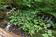Foamflower (Tiarella trifoliata) plants blooming along the trail around Rolley Lake in Rolley Lake Provincial Park. Surrounding plants include Bracken Fern and Salmonberry.