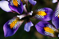 Iris Cretensis (Iris unguicularis spp. cretensis), Katharo, Crete