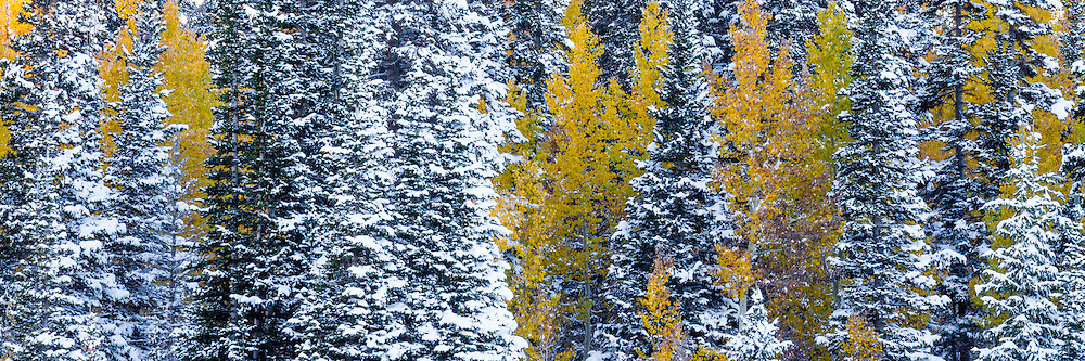 Panoramic view of snow covered pine trees mix with the yellow aspens after the first snow of Fall in Utah's Wasatch Mountains.