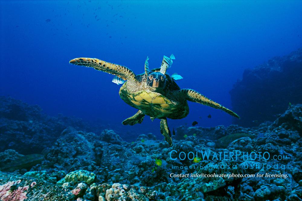 green sea turtle, Chelonia mydas, cleaned by convict tang, Acanthurus triostegus, and gold-ring surgeonfish, Ctenochaetus strigosus, (endemic to Hawaii), Kona, Big Island, Hawaii, Pacific Ocean