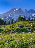 Layers of summer wildflowers coat the slopes of the massive active volcano Mt. Rainier.