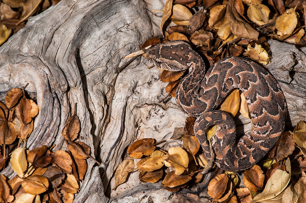 Puff Adder (Bitis arietans)<br /> Marataba, A section of the Marakele National Park, Waterberg Biosphere Reserve<br /> Limpopo Province<br /> SOUTH AFRICA<br /> HABITAT & RANGE: Absent only from desert & mountain tops throughout Africa