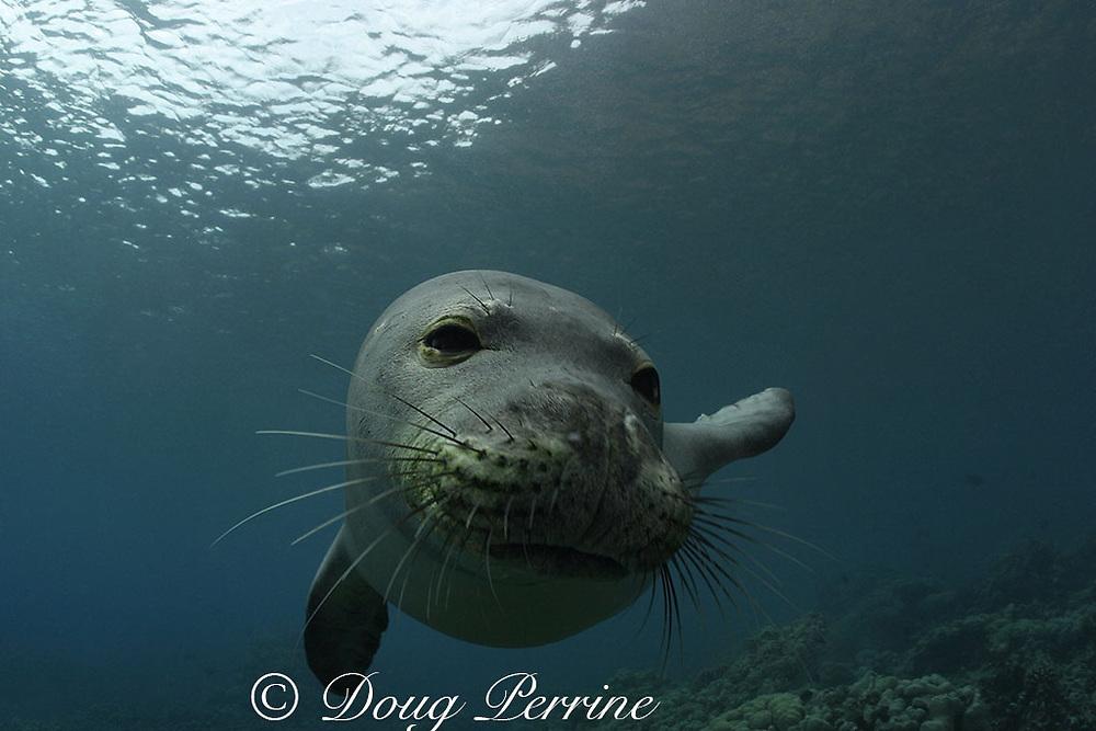 Hawaiian monk seal, Neomonachus schauinslandi (formerly Monachus schauinslandi ), Critically Endangered, endemic to Hawaiian Islands, young male, Kealakekua Bay, Kona, Hawaii ( Big Island ), United States ( Central Pacific Ocean )