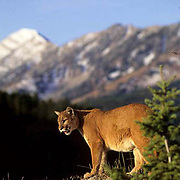 Mountain Lion or Cougar, (Felis concolor) Adult walks ridgeline in the foothills of the Bridger mountains. Montana.  Captive Animal.