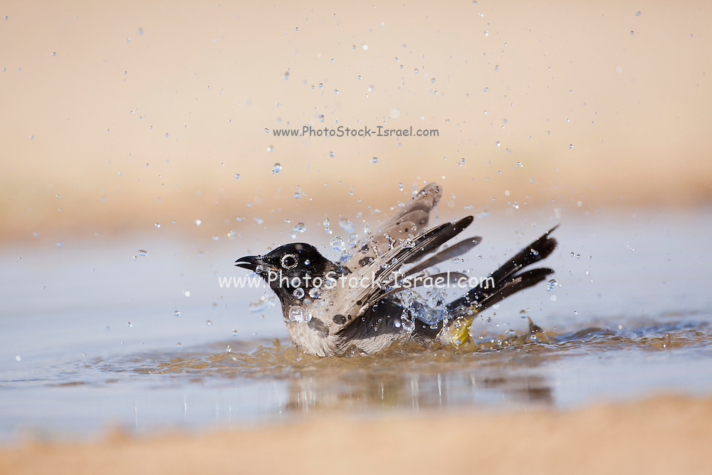 Yellow-vented Bulbul (Pycnonotus xanthopygos) Bathes in a water puddle, Negev Desert, Israel