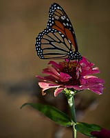 Monarch Butterfly on a Pink Flower. Autumn Backyard Nature in New Jersey. Image taken with a Fuji X-T2 camera and 100-400 mm OIS telephoto zoom lens (ISO 200, 300 mm, f/5.6, 1/180 sec)