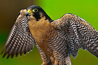 Peregrine falcon (Falco peregrinus), Deer Mountain Tribal Hatchery and Eagle Center, Ketchikan, Alaska USA
