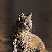 Bobcat (Lynx rufus) in the shallows along the bank of a river.  Captive Animal.