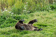 A Brown Bear cub rolls around in the grass along the lower Brooks River in Katmai National Park and Preserve September 16, 2019 near King Salmon, Alaska. The park spans the worlds largest salmon run with nearly 62 million salmon migrating through the streams which feeds some of the largest bears in the world.