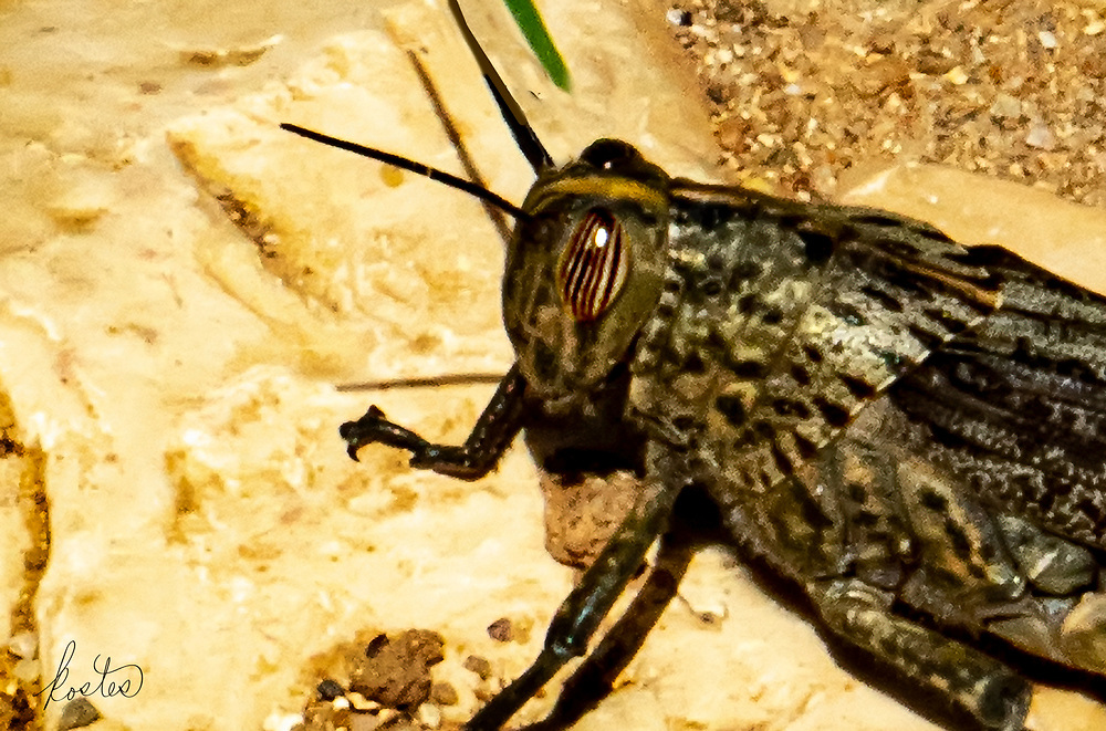 A large Egyptian Grasshopper, in the Algave, Portugal.