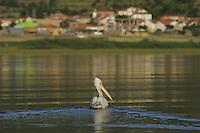 Dalmatian Pelican (Pelecanus crispus). Lake Prespa National Park, Albania June 2009