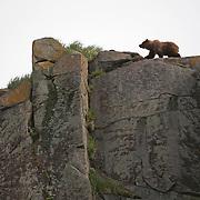 Alaska Brown Bear (Ursus middendorffi)