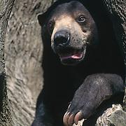 Malayan sun bear (Helarctos malayanus), the smallest of bears, inhabits Southeast Asia. Captive Animal