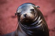 A Galapagos Sea lion (Zalophus wollebaeki), Rabida Island, Galapagos Islands, Ecuador