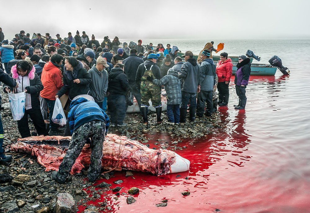 A typical scene after a beluga hunt. All the community is invited to share the beluga meat.