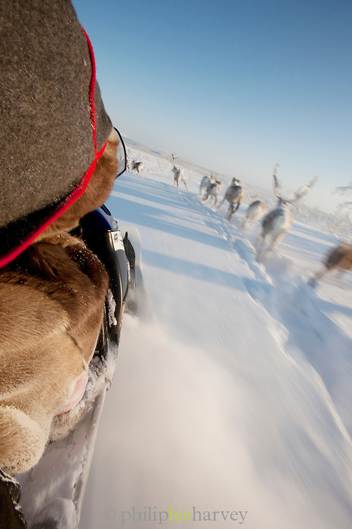 A Sami herding reindeer on his snowmobile in the countryside near Karasjok, Finnmark region, northern Norway