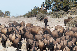 Cowboy on horseback pushing bison herd across rolling hills during bison roundup, Ladder Ranch, west of Truth or Consequences, New Mexico, USA.
