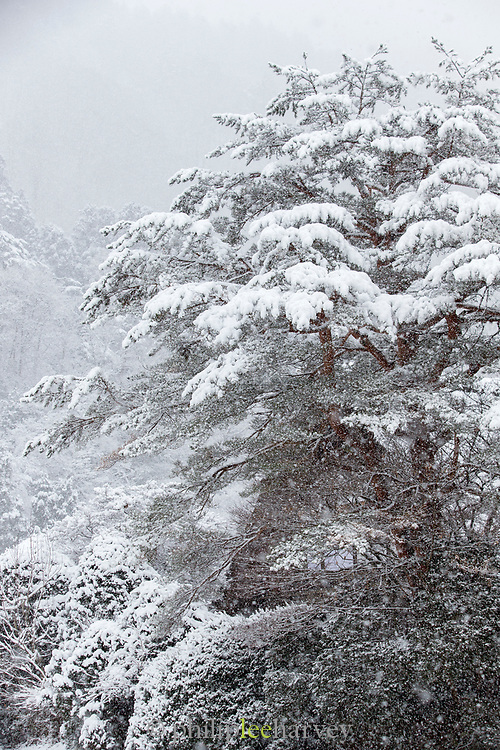 Covered in snow tree branches captured from low angle, Shirakawa-go, Japan