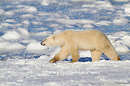 01874-13313 Polar Bear (Ursus maritimus) walking near Hudson Bay Churchill Wildlife Management Area Churchill MB